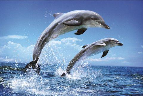 نوم الدلفين ونوم الذئب Dolphin%20picture