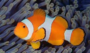 Parkerwiki0910 adaptations for Clown fish adaptations